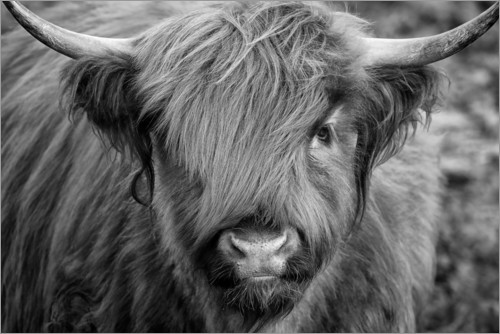 Premium-plakat Highlander - Scottish Highland Cattle black and white