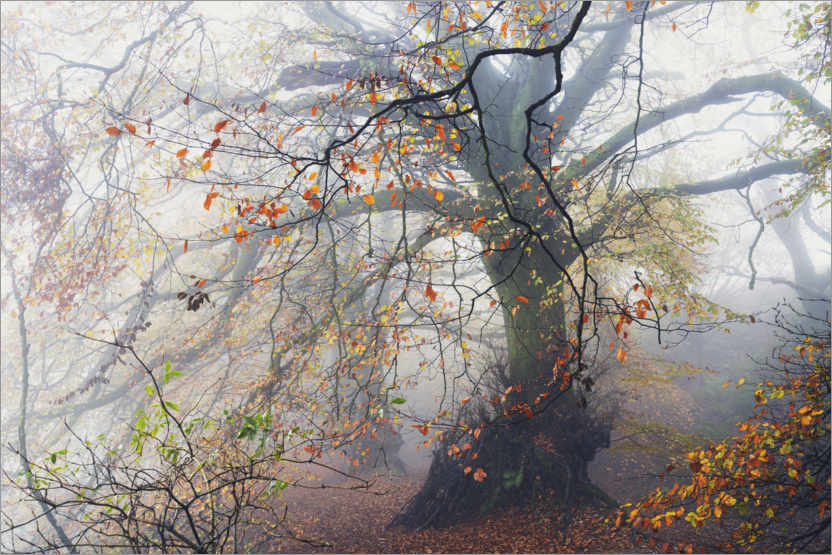 Premium-plakat Big beech tree with autumn colors in the fog in England
