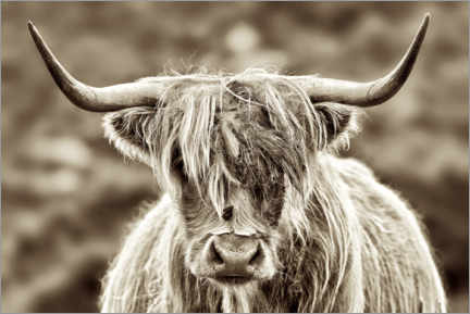 Akrylbillede  Face to face with the highland cattle