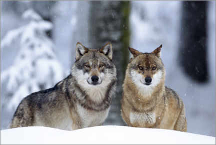 Akrylbillede  Wolves in the snow - age fotostock