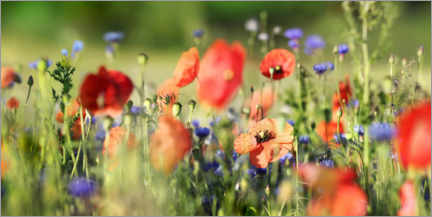 Premium-plakat Poppy, grain and wildflower meadow