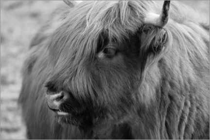 Print på skumplade  Highlander - Scottish highland cattle - Martina Cross