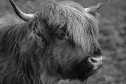 Selvklæbende plakat  Highlander - Scottish highland cattle - Martina Cross