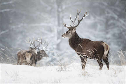 Lærredsbillede  Deer in the snow - Moqui, Daniela Beyer