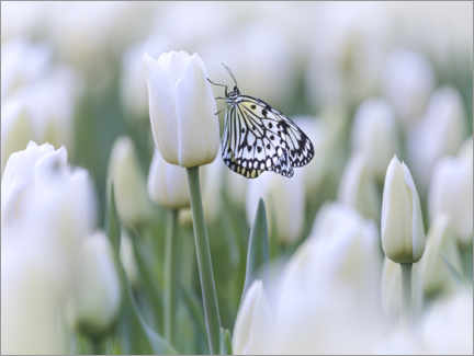 Akrylbillede  White tulips with butterfly - Martin Bergsma