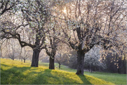 Akrylbillede  Blossoming cherry trees in the light of the rising sun - The Wandering Soul
