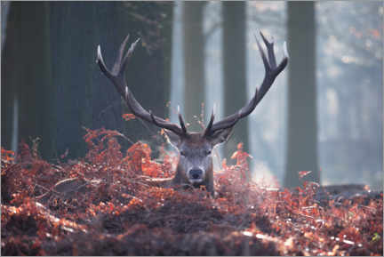 Premium-plakat A majestic red deer stag