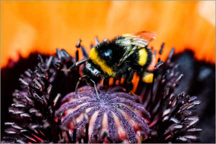 Print på aluminium  Little bumble bee in a poppy flower - Jan Trstenjak