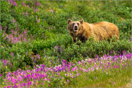 Premium-plakat Grizzly bear in the Rocky Mountains