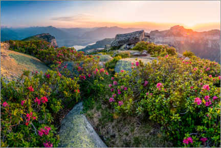 Lærredsbillede  Sunset in the Bernese Alps with alpine roses - Marcel Gross