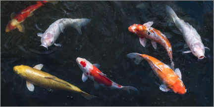 Print på træ  Colorful koi carp in the pond - Jan Christopher Becke