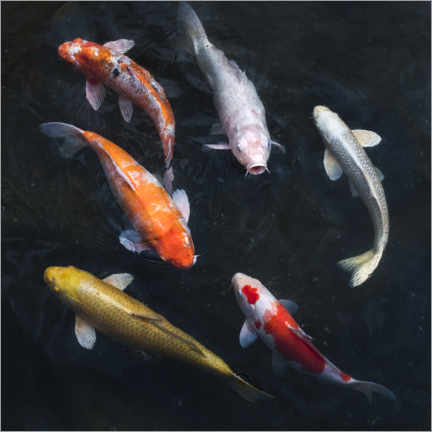 Selvklæbende plakat  Colorful koi carp - Jan Christopher Becke