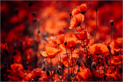 Premium-plakat Poppies in a red sea