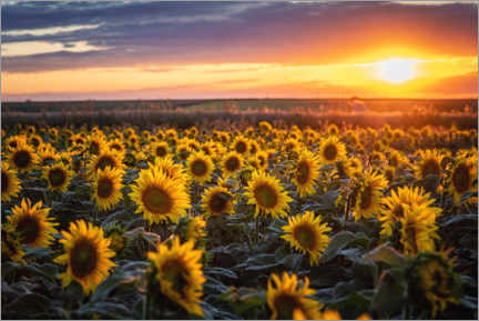 Premium-plakat Sunflower field