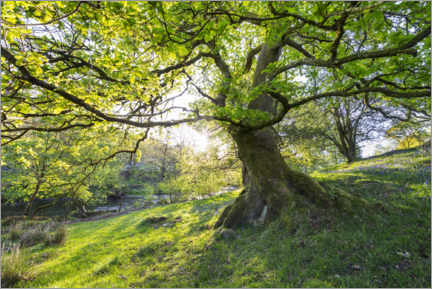 Lærredsbillede  Imposing tree in spring with sunlight in England - The Wandering Soul