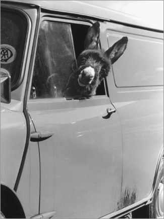 Premium-plakat Donkey looks out the car window