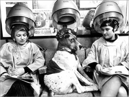 Selvklæbende plakat  Dog with curlers at the hairdresser's - John Drysdale