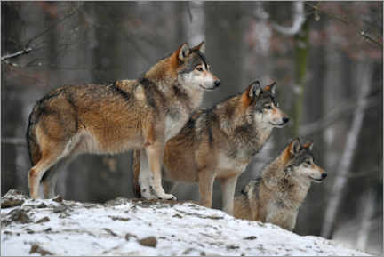 Akrylbillede  Timber wolves in the snow - Michael Weber