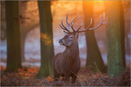 Premium-plakat Majestic Stag in the Frosty Morning Light
