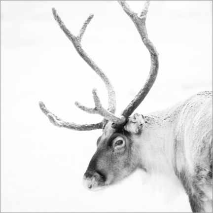 Akrylbillede  Reindeer in the Arctic - Matthew Williams-Ellis