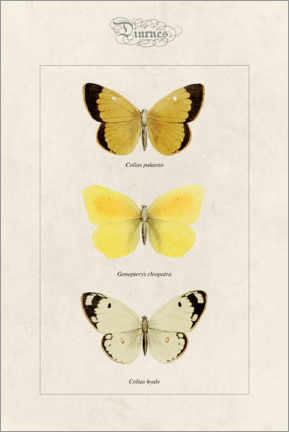 Lærredsbillede  Moorland clouded yellow, cleopatra and pale clouded yellow - Alexis Nicolas Noel