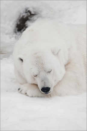 Akrylbillede  Relaxed polar bear settled down to sleep - Mikhail Semenov