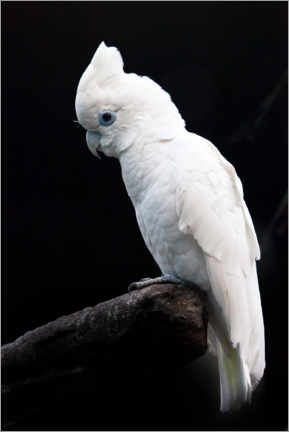 Akrylbillede  Beautiful white cockatoo - Mikhail Semenov