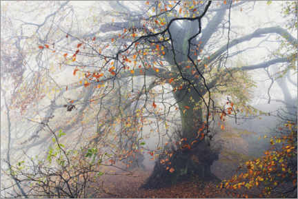 Galleritryk  Big beech tree with autumn colors in the fog in England - The Wandering Soul