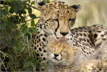 Akrylbillede  Cat washing with the cheetahs - Jaynes Gallery