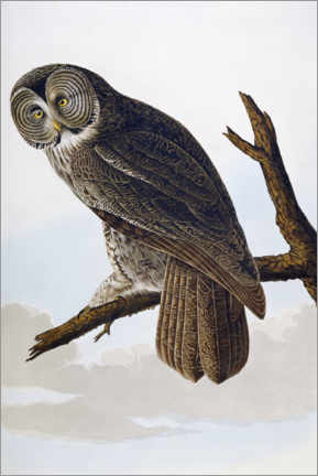 Galleritryk  Big ash-colored owl - John James Audubon