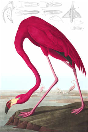 Akrylbillede  Cariberflamingo, The Birds of America - John James Audubon
