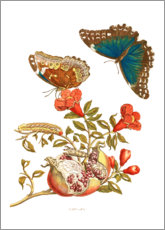 Akrylbillede  Pomegranate and Menelaus Blue Morpho Butterfly - Maria Sibylla Merian