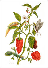 Galleritryk  Peppers and Lepidoptera Metamorphosis - Maria Sibylla Merian