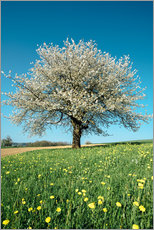 Selvklæbende plakat  Blossoming cherry tree in spring on green field with blue sky - Peter Wey