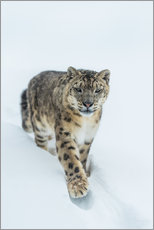 Galleritryk  Snow Leopard in deep snow - Ingo Gerlach