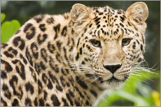 Galleritryk  Amur leopard - Power and Syred