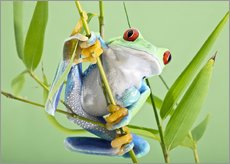 Selvklæbende plakat  Red-eyed tree frog - Linda Wright