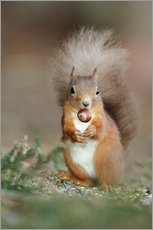 Selvklæbende plakat  Red squirrel eating a hazel nut - Duncan Shaw
