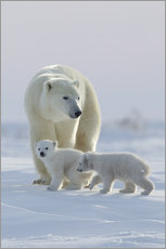 Galleritryk  Polar bear (Ursus maritimus) and cubs, Wapusk National Park, Churchill, Hudson Bay, Manitoba, Canada - David Jenkins