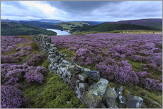 Selvklæbende plakat  Heather covered Bamford Moor and dry stone wall - Eleanor Scriven