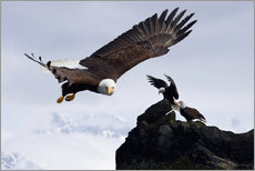 Galleritryk  Bald Eagle in flight - John Hyde