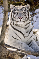 Selvklæbende plakat  White Bengal Tiger - Chad Coombs