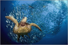 Galleritryk  Green sea turtle before Bali - Dave Fleetham