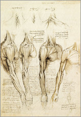 Selvklæbende plakat  Muscles of shoulder, arm and neck - Leonardo da Vinci