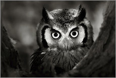 Selvklæbende plakat  White-faced Owl perched in a tree - Johan Swanepoel