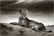 Galleritryk  Lioness resting on top of a sand dune - Johan Swanepoel