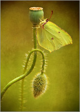 Galleritryk  Yellow butterfly on poppy head - Jaroslaw Blaminsky