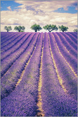 Selvklæbende plakat  Lavender field with trees in Provence, France