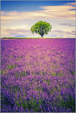 Galleritryk  Lavender field with tree in Provence, France