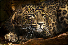 Galleritryk  Leopard on the lookout - Edith Albuschat